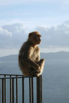 Free Barbary Macaque Stock Photo - 9477270
