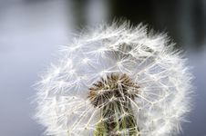 Dandelion Seedhead Royalty Free Stock Image