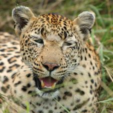 Free Leopard In Sabi Sand Private Reserve Royalty Free Stock Image - 9477486