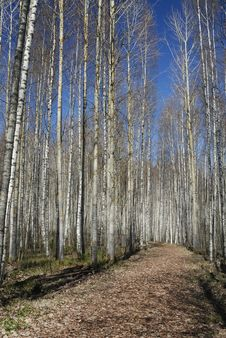 Free Shining Birch Forest Stock Photography - 9477532