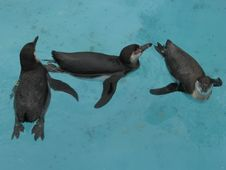 Free Penguins Swimming And Playing Stock Image - 9477931