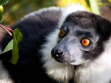 Free Lemur Stock Photo - 9478430