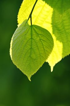Free Green Leaf Royalty Free Stock Photos - 9478518