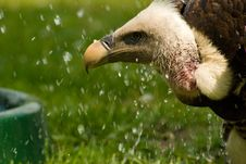 Free Predator Vulture Animal Stock Image - 9479261