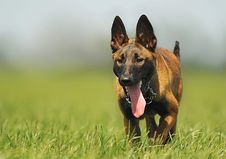 Free Brown Black Dog Stuck Tongue Walking In A Green Fields Stock Images - 94708174