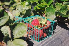 Free Red Strawberry Fruits In Blue Container Near Surrounded By Green Leaves Stock Photos - 94709243