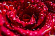 Free Water Drops On Bright Red Flower Royalty Free Stock Photo - 94711515