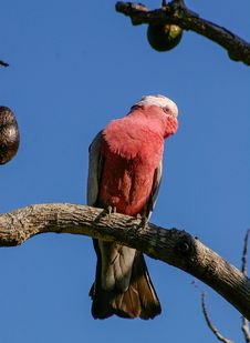 Free Red And White Bird On Brown Tree Trunk Royalty Free Stock Photography - 94711527