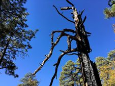 Free Behold The Ponderosa Pine Monster Stock Images - 94777844