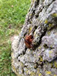 Free Brood V 17 Year Magicicada Periodical Cicadas Royalty Free Stock Photography - 94777857