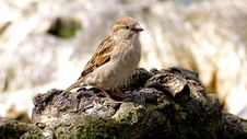 Free Small Brown Bird On Rocks Royalty Free Stock Photography - 94777907
