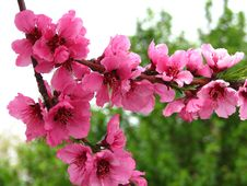 Free Pink Fruit Tree Blossoms 6 Stock Image - 94777931