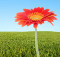 Free Orange Daisy With Grassy Hill And Sky Royalty Free Stock Image - 9480646