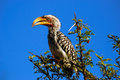 Free Southern Yellow-billed Hornbill Royalty Free Stock Images - 9484099