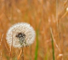 Free Backlit Dandelion Stock Photos - 9480163