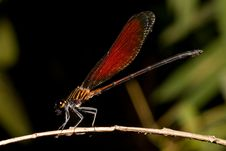 Free Damselfly 1 Royalty Free Stock Images - 9482589