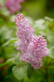 Free Close-up Branch Of Violet Lilac In The Garden Royalty Free Stock Photography - 9483037