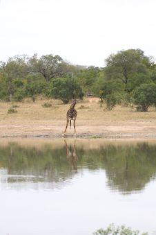 Giraffe In Sabi Sand Reserve, Africa Stock Image