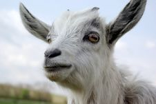 Free Portrait Of A Curious Young Goat Stock Image - 9483581