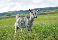 The Little Goat On A Green Meadow Stock Images