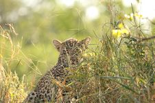 Free Leopard In Sabi Sand Private Reserve Stock Images - 9483694