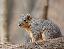 Free Fox Squirrel Stock Image - 9484061
