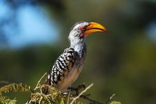 Free Southern Yellow-billed Hornbill Royalty Free Stock Image - 9484076