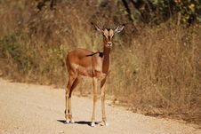 Free Impala Male (Aepyceros Melampus) Royalty Free Stock Images - 9484289