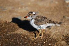Free Young Three-Banded Plover Stock Photo - 9484380