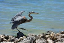 Free Blue Heron On Rocks By Water Royalty Free Stock Image - 9486116