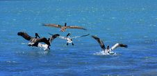 Free Flight Of Pelicans Stock Photography - 9486142