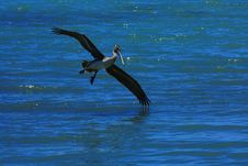 Free Pelican Flying Over Water Royalty Free Stock Photography - 9486157