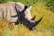 Free White Rhinoceros (Ceratotherium Simum) Royalty Free Stock Photos - 9486448