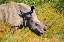 White Rhinoceros (Ceratotherium Simum) Stock Photos