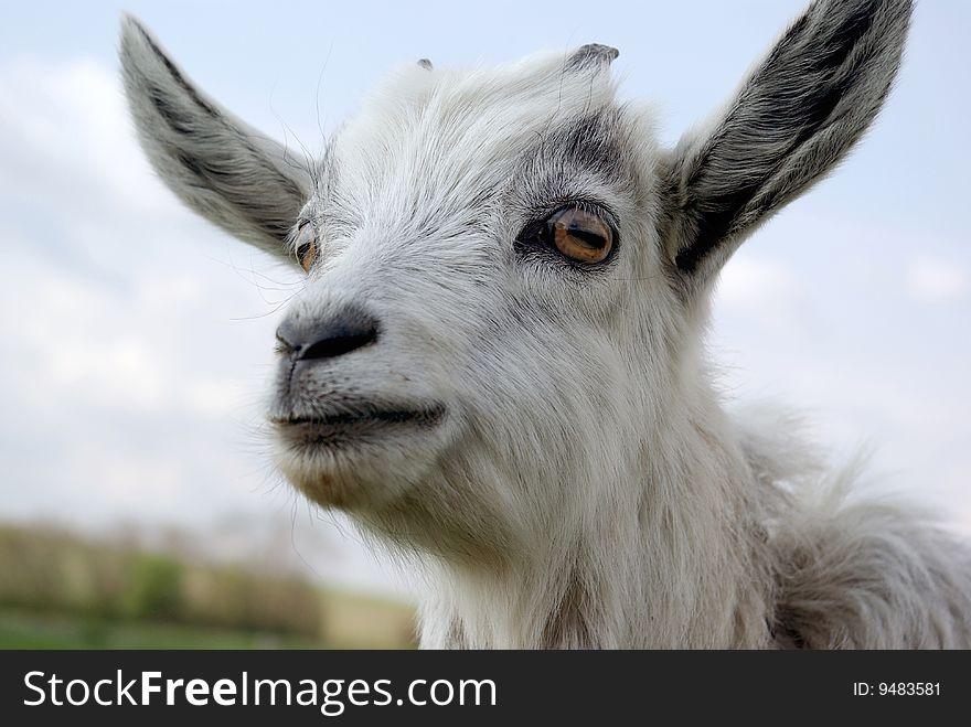 Portrait of a curious young goat