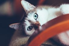 Free Blue Eyed Cat Lying On Chair Royalty Free Stock Photos - 94886938