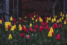 Free Yellow And Red Tulips In Garden Royalty Free Stock Photo - 94887015