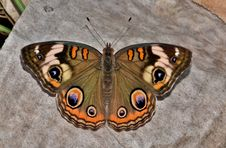 Free Brown White And Black Butterfly Royalty Free Stock Photo - 94887345