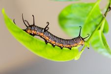 Free Caterpillar On Leaf Royalty Free Stock Photo - 94887585
