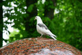 Free White Pigeons Siting On The Edge Of A Fountain Royalty Free Stock Photo - 9493565