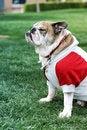 Free English Bulldog Royalty Free Stock Photography - 9494577
