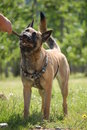 Free Malinois Stock Photos - 9498853