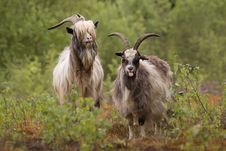 Free Goat S Fun Stock Photos - 9490533