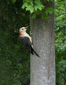 Free Woodpecker On A Tree Stock Images - 9491994