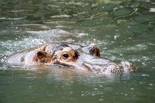 Free Nile Hippopotamus Royalty Free Stock Image - 9492506