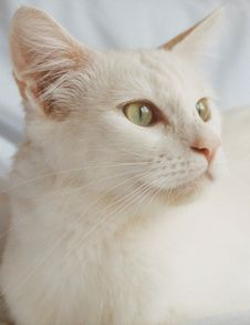Free Pearl, White Fluffy Cat Royalty Free Stock Images - 9492509