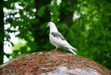 White Pigeons Siting On The Edge Of A Fountain Royalty Free Stock Photo