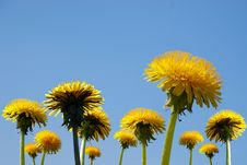 Free Blue Sky And Dandelions Royalty Free Stock Image - 9494006