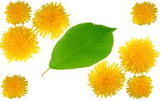 Yellow Dandelions And Green Leaf Royalty Free Stock Photo