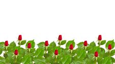 Free Red Rose Royalty Free Stock Images - 9494299